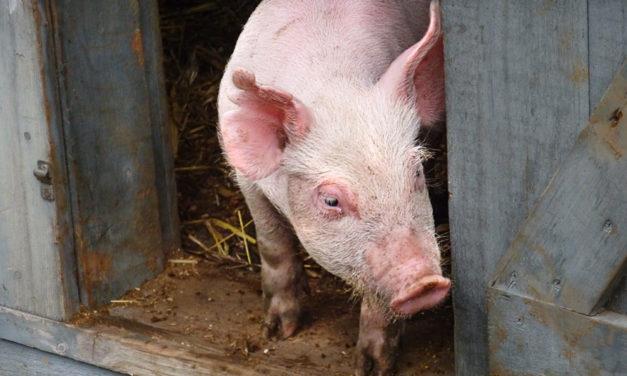 15 złotych zasad ochrony biologicznej —Afrykański pomór świń