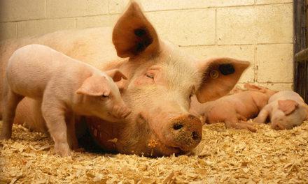 Pomoc dla hodowców świń