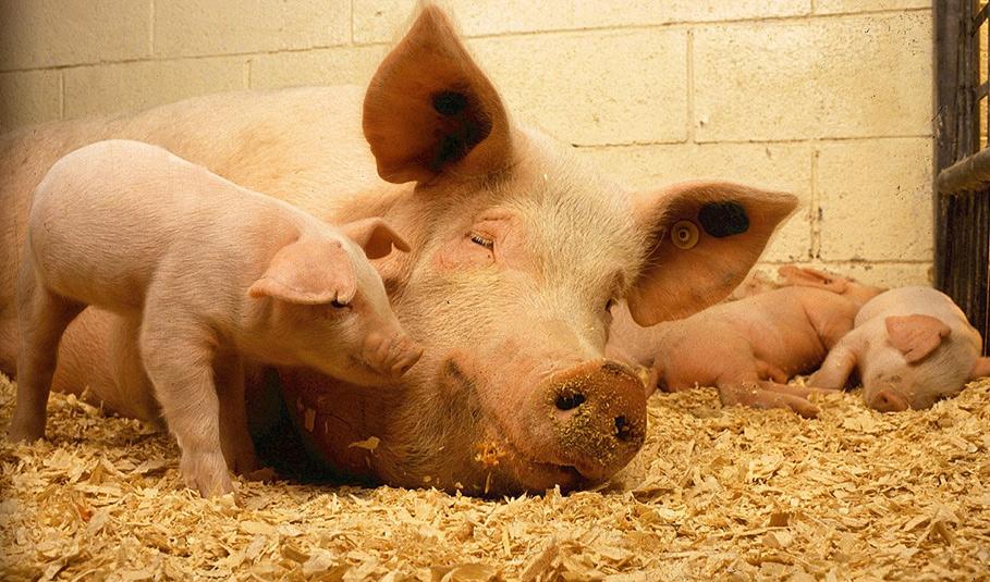 ASF pomoc finansowa dla hodowców świń