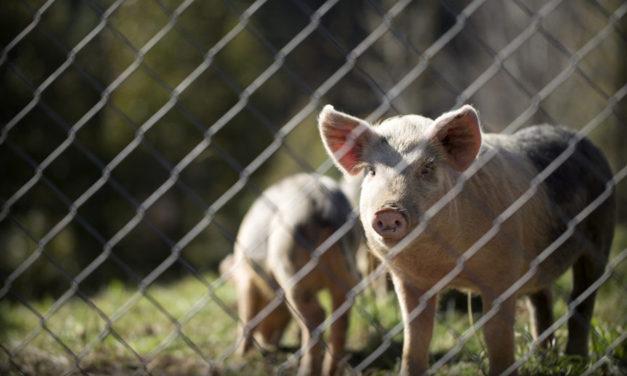 Wirus ASF groźny dla branży mięsnej