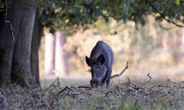 Mięso zwierząt łownych jako zdrowa żywność